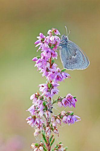 Vlinder op heide von René Vos