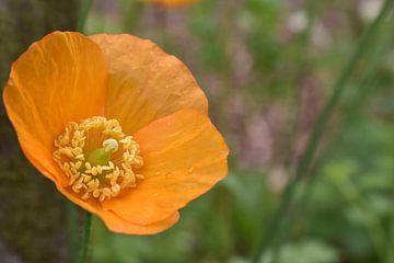 Orangefarbener Mohn von Daphne van der straaten