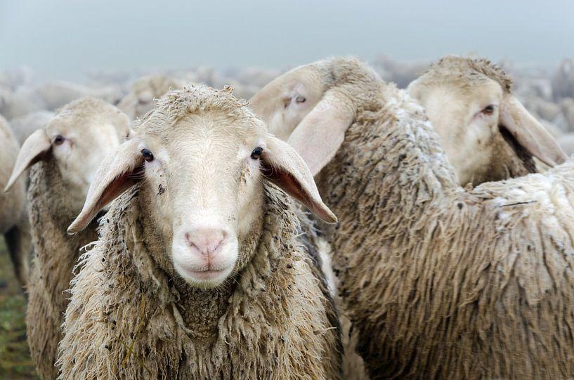 Flock of sheep van Michael Valjak