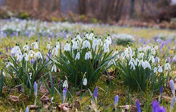 Schneeglöckchen und Krokus im Garten von Susanne Bauernfeind
