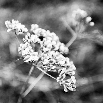 Heracleum mantegazzianum sur Stewart Leiwakabessy
