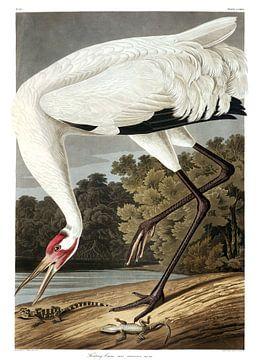 Trompetkraanvogel van
