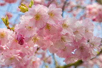 Roze lente bloesem von Michèle Huge