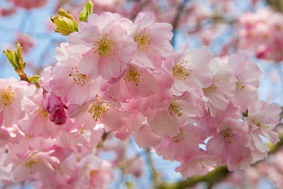 Roze lente bloesem van Michèle Huge