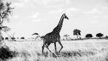 giraffe in Mikumi National park, Tanzania sur Michel Kottelaar