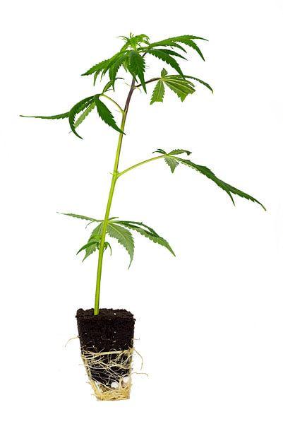 Cannabis Steckling von Felix Brönnimann