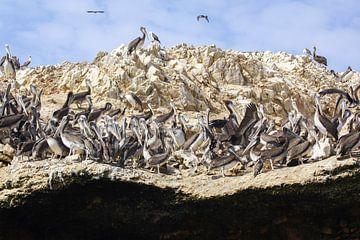 Pelicanrock van Andrew van der Beek