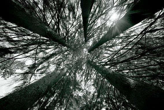 HOGE BOMEN - INTO THE TREES