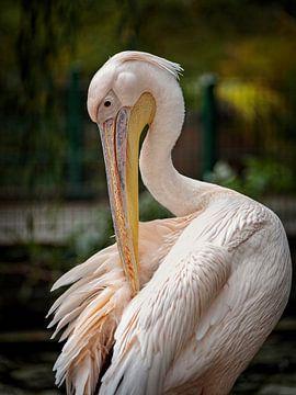Pelikan von Rob Boon