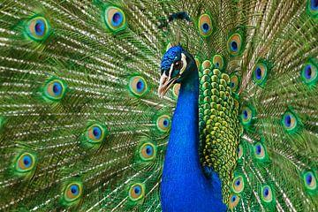 Blauwe pauw van Heiko Lehmann