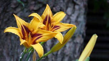 Een van de mooiste bloemen die achterin de tuin aanwezig is bij ons huis van Wilbert Van Veldhuizen