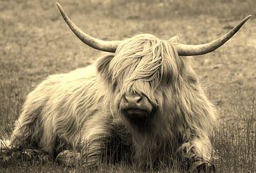Schotse hooglander van Marian Sintemaartensdijk