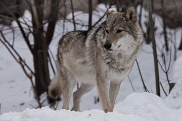 Een krachtige wolf staat trots en kijkt in de winter (voluit) uit naar de sneeuw. van Michael Semenov