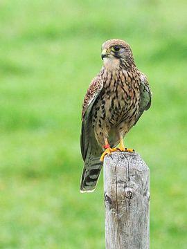 Raubvögel der Turmfalke von Loek Lobel