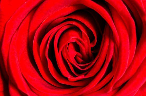 Rode roos van Richard Guijt