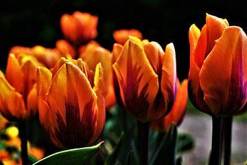 Oranje Tulpen sur José Batterink