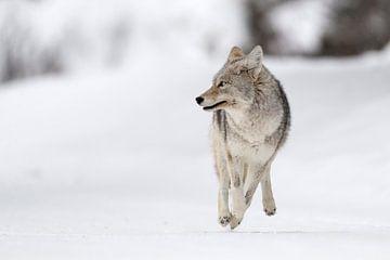 Kojote ( Canis latrans ) im Winter, läuft auf die Kamera zu, blickt dabei zur Seite, Yellowstone NP, von wunderbare Erde