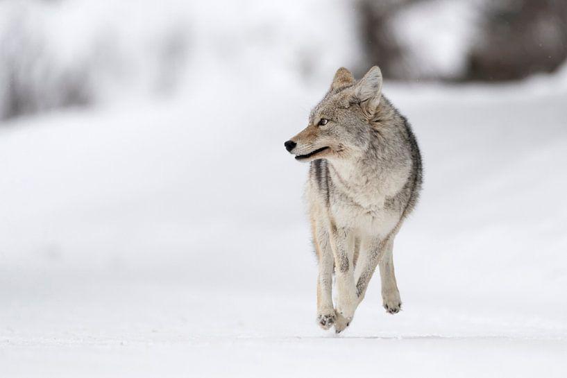 Coyote ( Canis latrans ) on the run, running, in winter, high snow, fleeing, looks scared, frightene van wunderbare Erde