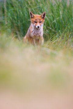 jonge vos van