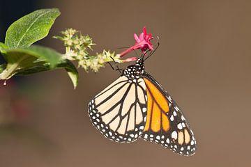 Close up van vlinder op bloem van Henk van den Brink