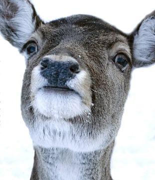 Foto van een hertenkop in de sneeuw. van Therese Brals