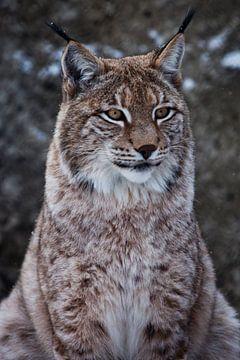Schnauze einer wilden Waldkatze Luchs in Nahaufnahme - Porträt, Ohren mit Quasten. eigenständiger Bl von Michael Semenov