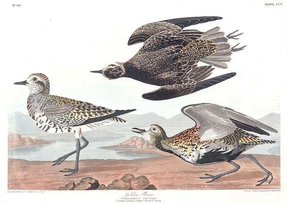 Pluvialis van Birds of America