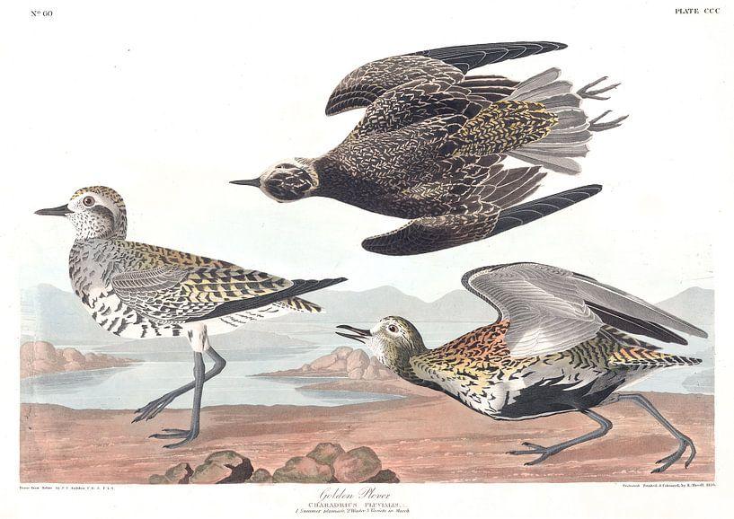 Pluvialis von Birds of America