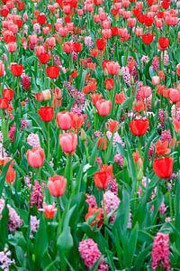 Veld met rode tulpen en roze hyacinten