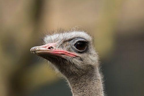 Struisvogel van Leonard Boshuizen