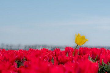 Gele tulp boven rood tulpenveld van Moetwil en van Dijk - Fotografie