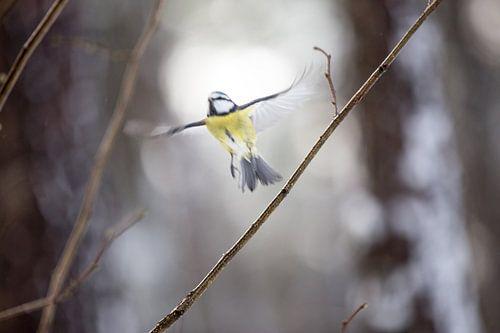 Blue tit bird van