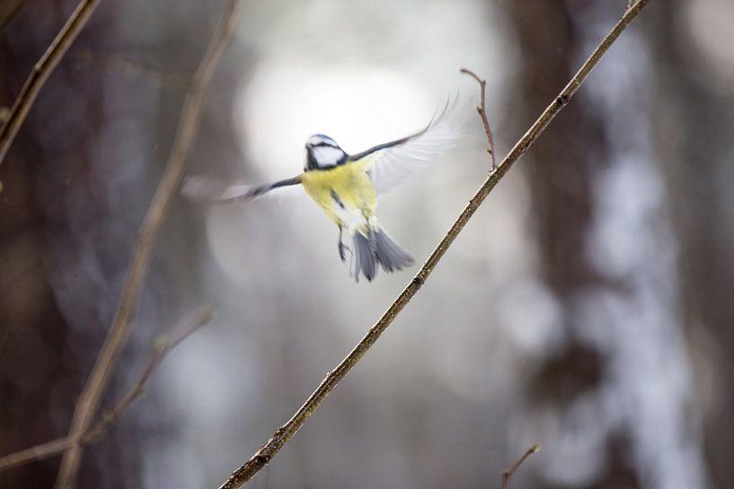 Blue tit bird van Mark Zanderink
