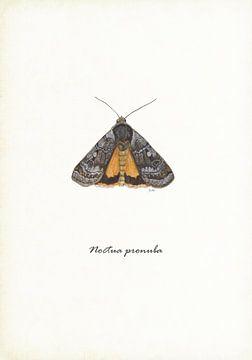 Huismoeder (nachtvlinder) van Jasper de Ruiter