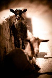 Goats I