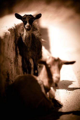 Goats I van