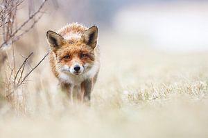 Een nieuwsgierige vos