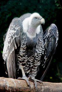 Gier - imposante vogel