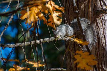 Eekhoorn in Yosemite park van Kevin Pluk