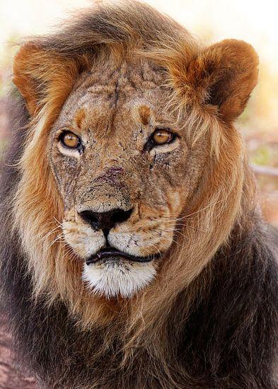 Löwe in Südafrika, wildlife