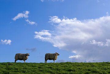 Grazende schapen op een dijk van John Stuij