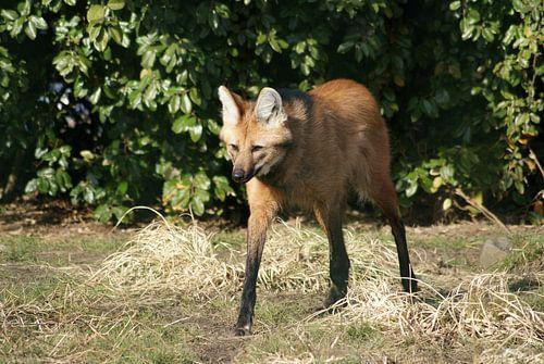 Manenwolf