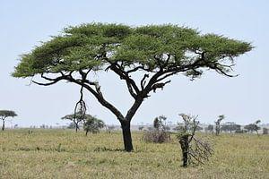 Luipaard in boom op Serengeti