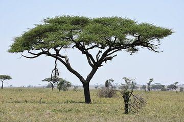 Luipaard in boom op Serengeti van Maurits Kuiper
