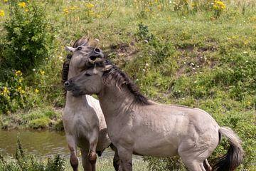 Konik-Pferde spielen von Anjella Buckens