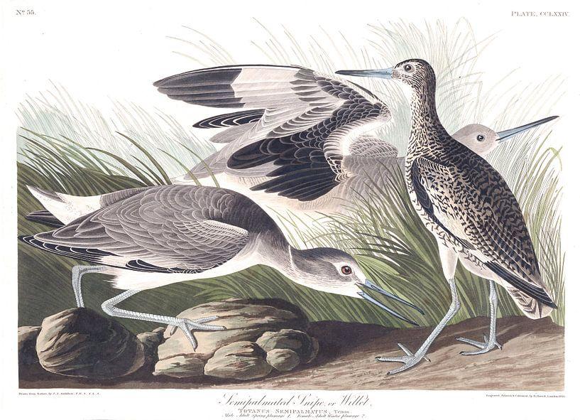 Willet van Birds of America