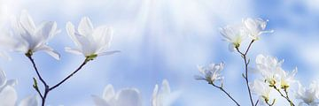 magnolie weiße blüten vor blauem himmel von Dörte Stiller