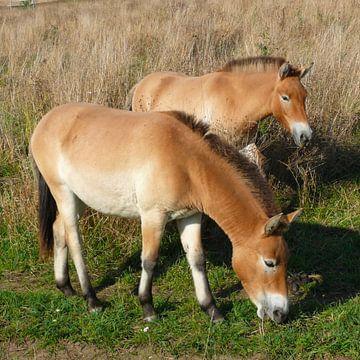 Przewalski Pferde von Ralf Schroeer