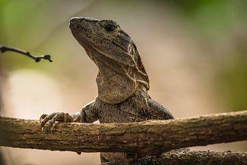 Leguan schaut über einen Zweig. von Adri Vollenhouw