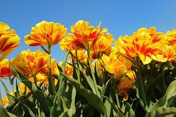 Dubbele rood en oranje tulpen in bollenveld van Ivonne Wierink